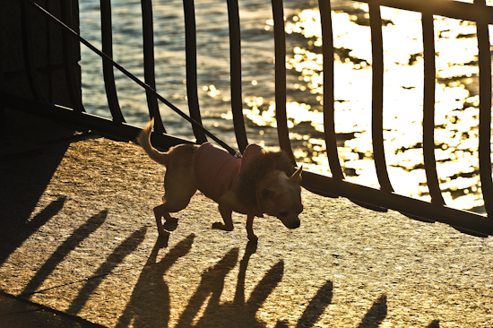 Coco's NYC Walk 8: Beside the River at Sunset by Brett Howard Sproul. Giclee print of Coco the dog, a Chihuahua on a walk at sunset, beside the river, an original photo taken in New York City.