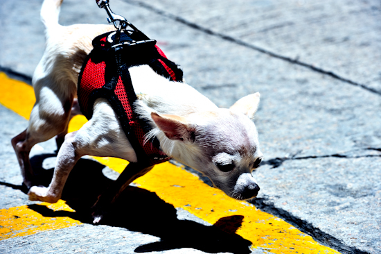 Coco's Hong Kong Walk 3 – straining forward by Brett Howard Sproul. Giclee print of Coco the dog, a Chihuahua, taking a walk in Hong Kong, straining forward. An original photo taken in Hong Kong.
