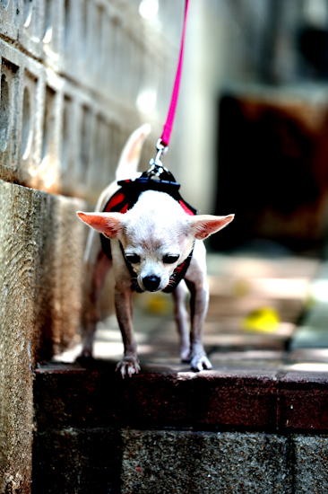 Coco's Hong Kong Walk 4 – facing step by Brett Howard Sproul. Giclee print of Coco the dog, a Chihuahua, taking a walk in Hong Kong, facing the step. An original photo taken in Hong Kong.