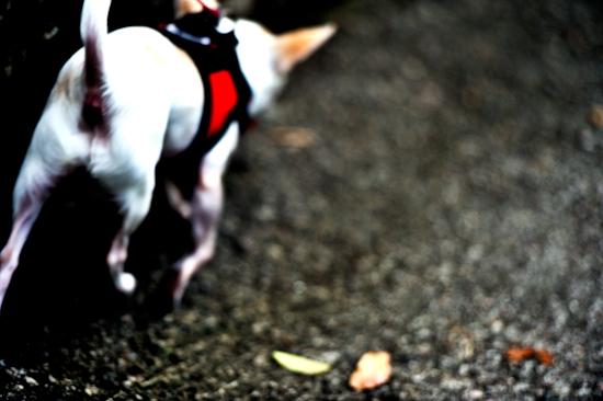 Coco's Hong Kong Walk 5 – backside by Brett Howard Sproul. Giclee print of Coco the dog, a Chihuahua, taking a walk in Hong Kong, backside. An original photo taken in Hong Kong.
