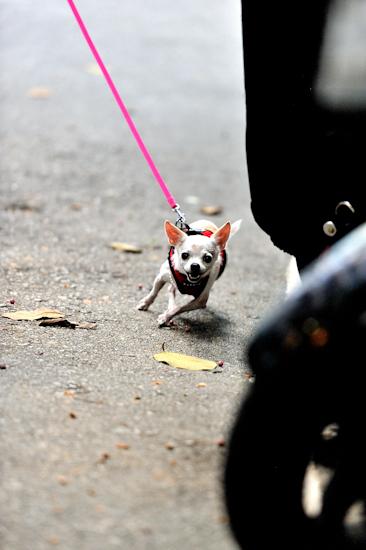 Coco's Hong Kong Walk 6 – running towards camera by Brett Howard Sproul. Giclee print of Coco the dog, a Chihuahua, taking a walk in Hong Kong, running towards the camera. An original photo taken in Hong Kong.