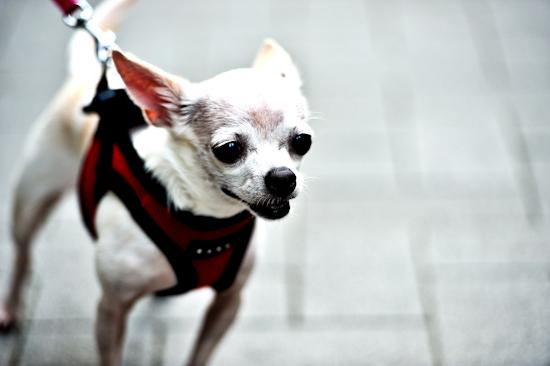 Coco's Hong Kong Walk 8 – looking forward by Brett Howard Sproul. Giclee print of Coco the dog, a Chihuahua, taking a walk in Hong Kong, looking forward. An original photo taken in Hong Kong.